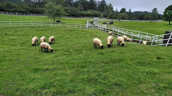 まきば公園 羊