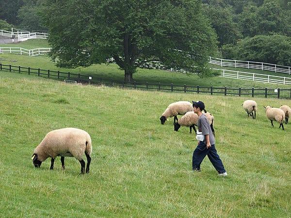 まきば公園 羊と